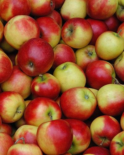 Die Äpfel bilden eine Pflanzengattung der Kernobstgewächse aus der Familie der Rosengewächse. Die Gattung umfasst etwa 42 bis 55 Arten laubwerfender Bäume und Sträucher aus Wäldern und Dickichten