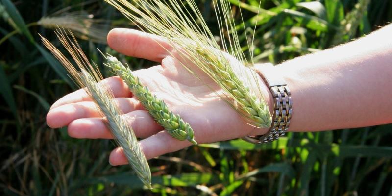 Roggen Weizen Gerste und Hafer sind landwirtschaftliche Produkte