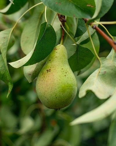 Die Birnen bilden eine Pflanzengattung, die zu den Kernobstgewächsen in der Familie der Rosengewächse gehört