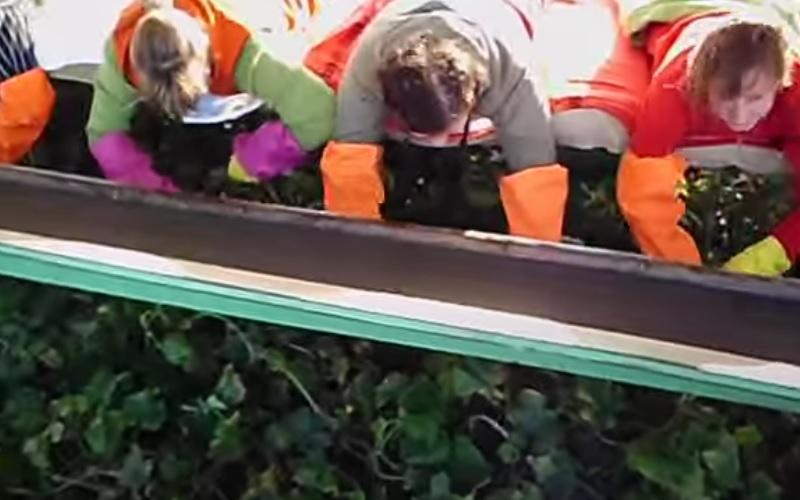 Gurkenflieger ein landwirtschaftliches Gerät zur Ernte von Gurken