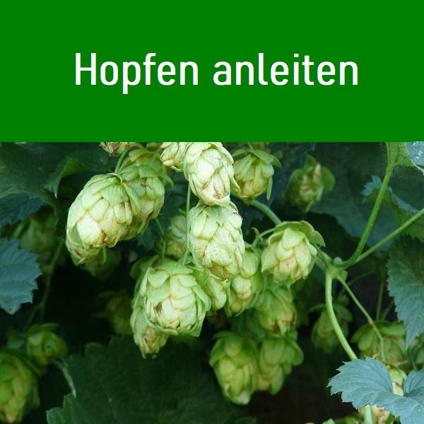 Humulus lupulus (Hopfen) gehört zur Familie der Hanfgewächse. Die Kletterstaude und wird seit dem neunten Jahrhundert angebaut.