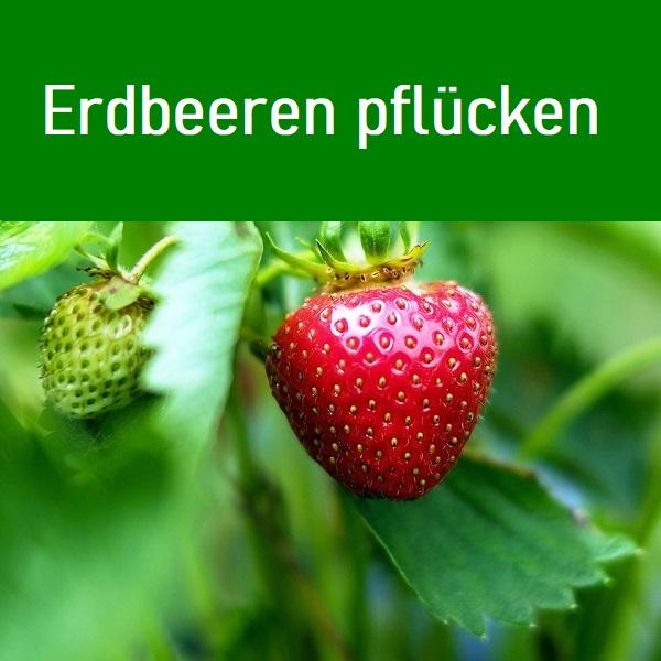 Die Blütezeit von Erdbeeren ist von März bis Juni. Die Früchte ab Mai geerntet