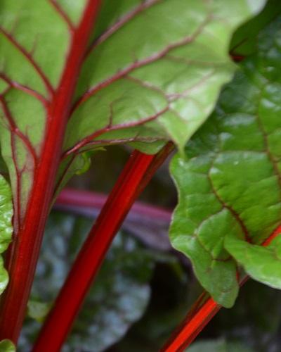 Der Rhabarber, genauer Gewöhnlicher Rhabarber, auch Gemüse-Rhabarber oder Krauser Rhabarber, ist eine Pflanzenart aus der Familie der Knöterichgewächse.