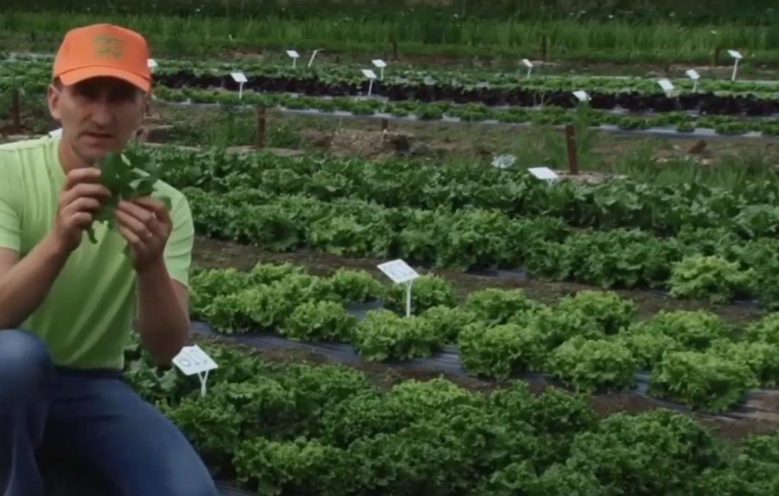 Gemüsebauer prüft sein reifenden Salat auf Schädlingsbefall