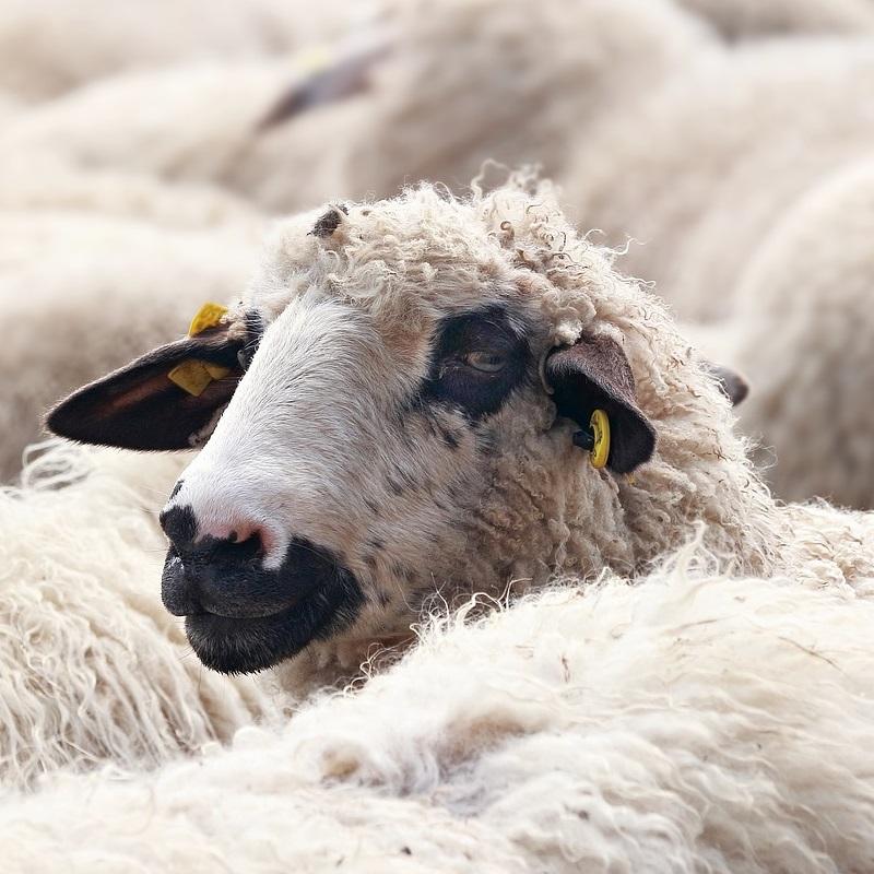 Tierwirtschaftsmeister/innen übernehmen in der Schafhaltung verantwortliche Fach- und Führungsaufgaben in allen Bereichen der Aufzucht von Schafen verschiedener Rassen. Auch bei der Vermarktung des Fleisches und von Schurwolle wirken sie mit. Sie sind verantwortlich für die Betriebsbereitschaft und den rationellen Einsatz der Betriebsmittel (Futtermittel, Maschinen, Geräte, Anlagen, Werkzeuge).