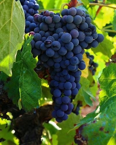 Weintrauben sind die Fruchtstände der Weinreben, insbesondere die der Edlen Weinrebe. Die einzelnen Früchte des Fruchtstandes heißen Weinbeeren. Umgangssprachlich wird zwischen Beere und Traube nicht immer sauber unterschieden