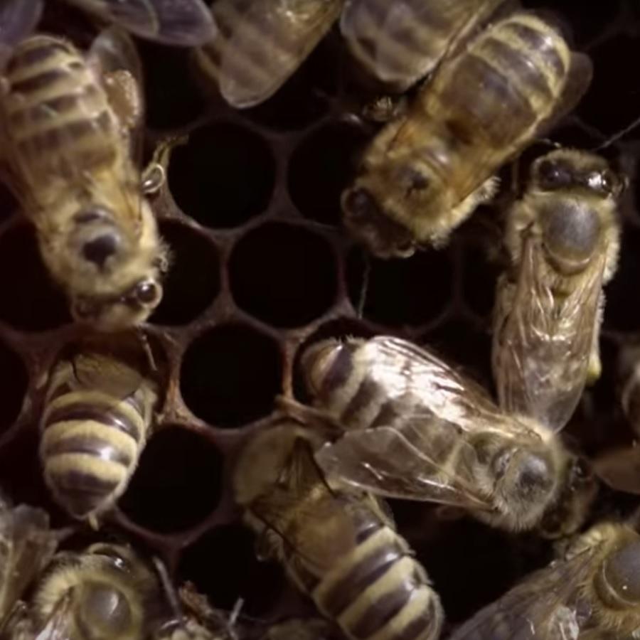 Nach Rind und Schwein ist die Biene drittwichtigste Nutztier in der Landwirtschaft