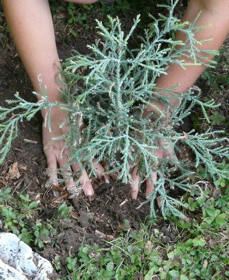 Junge Gärtnerin pflanzt Jungpflanze im Garten