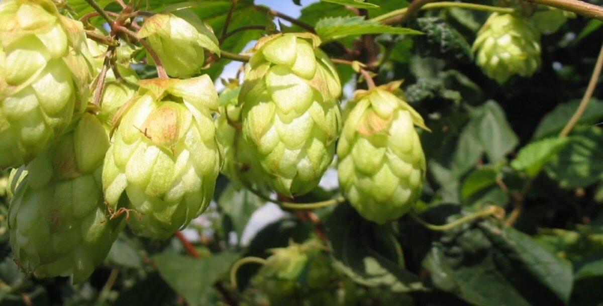 Ein gutes Bier braucht guten Hopfen als auch Gute Helfer im Hopfenanbau