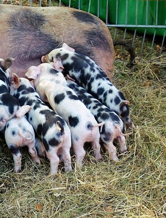 Bio Schweinehaltung Helferinnen für alle arbeiten die im Schweinestall erledigt werden müssen gesucht